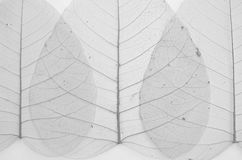 Black and white image of banyan leaf veins Stock Image