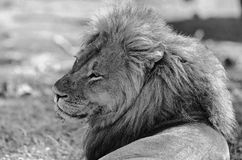 Black and white image of a beautiful Male Lion, with lovely mane in Hwange National Park royalty free stock image