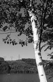 Black and white  image of birch tree with forest and hydro towers in background Royalty Free Stock Photography