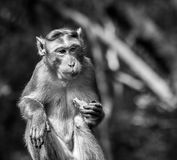 Bonnet macaque monkey eating fruit. Black and white image of Bonnet macaque monkey eating fruit Royalty Free Stock Photography
