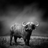 Black and white image of a buffalo stock photo