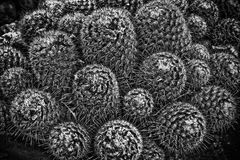 Monochrome Cactus Closup. Black and White image of a Cactus with great texture and lots of needles Stock Photography