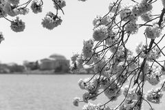 Black and white image of cherry blossoms. A black and white image of Japanese cherry trees in full bloom on the tidal basin in Washington, DC. The Jefferson Stock Photos