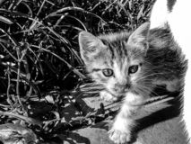 Black and white image of a curious tortoiseshell kitten royalty free stock photography