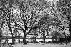 Black and white image of dormant trees in the snow. At Wenhaston, Suffolk, England royalty free stock photos