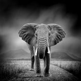 Black and white image of a elephant. Dramatic black and white image of a elephant on black background stock photos