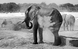 Black and white image of an elephant dusting himself. A large elephant dusts himself while other elephants bath in the background, Hwange National Park, Zimbabwe royalty free stock photo