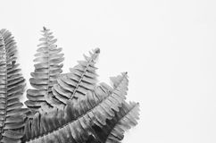 Black and white image of fern leaves. On white background Royalty Free Stock Photography