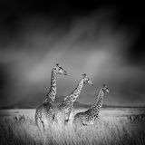 Black and white image of a giraffe Stock Photos