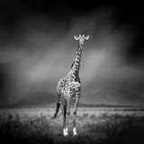 Black and white image of a giraffe Royalty Free Stock Images