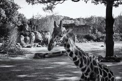 Black and white image of giraffe Stock Photo