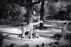 Black and white image of giraffe Stock Photos