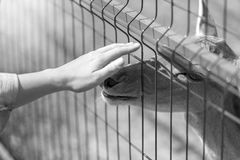 Black and white image of hand caressing deer through fence in th Royalty Free Stock Photos