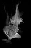 Black and white image of heat from  rose. Black and white image of heat from beautiful red rose Royalty Free Stock Image