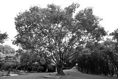 Black and white image of a large tree Royalty Free Stock Photography