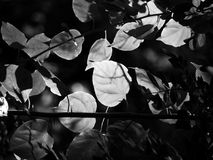 Black and white image of leaves in a dense forest with dappled afternoon sunlight passing through it. With a dark grey black background suggesting a vintage Royalty Free Stock Image
