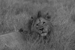 Black and white image of lion looking back at camera Stock Photo