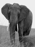 Black & White Image of a Lone elephant in black & white. An elephant stands in the lush plains of Chobe in Botswana, Southern Africa royalty free stock photos