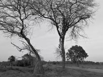Black and white image of the lonely desolated trees,  with moody stormy sky in the background. Black and white image of the lonely desolated trees,  with royalty free stock image