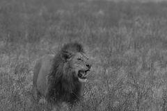 Black and white image of male lion standing in field Stock Photography