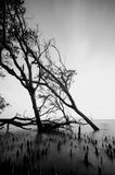Black and white image of mangrove tree on the seashore Royalty Free Stock Images