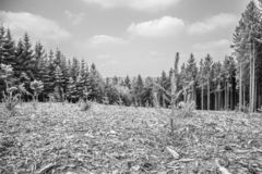 Black and white image of newly planted pine trees and large pine trees royalty free stock photography