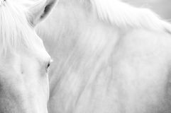 Black and White Image of a Palamino Horse. A Black and White abstract view of the head and body of a white palamino horse with emphasis on the eye Royalty Free Stock Photography