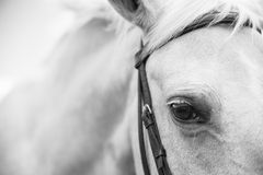 Black and White Image of a Palamino Horse. A Black and White abstract view of the head and body of a white palamino horse with emphasis on the eye Royalty Free Stock Images