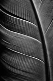 Black and white image of a piece of bird feathers. Close-up stock images