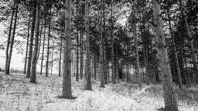 Black-and-white image of a pine tree forest in winter. Pinetree forest in winter taken in Wisconsin with snow on the ground Stock Images