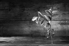 Black and white image of plant grows in old wood crack Stock Image