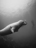 Grey seals in the Farne Islands. Black and white image of a playful young grey seal, Halichoerus grypus, photographed under natural light while interacting with Royalty Free Stock Photo