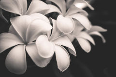 Black and white image of the Plumeria flowers Royalty Free Stock Images