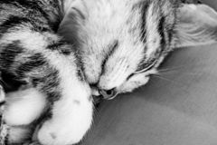 Black and white image of sleeping tabby cat kitten. Black and white monochrome image of sleeping tabby cat kitten stock images