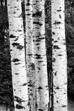 B&W of birch trees. Royalty Free Stock Photography
