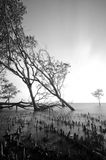 Black and white image of stump and root of mangrove tree on the seashore Stock Images