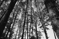 Black and white image style scenic view of very big and tall tree with sun light in the forest when looking up Stock Image