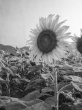 Black and white image with sunflower Royalty Free Stock Photo