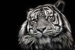 Black and white image of a tiger in high quality. Popular danger cat feline. Proposal for graphic use Royalty Free Stock Images