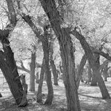 Black and white image of trees Royalty Free Stock Image