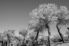 Black and white image of trees in autumn season Royalty Free Stock Photography