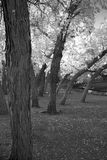 Black and white image of trees in autumn season Royalty Free Stock Image