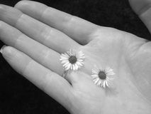 Daisies in hand. Black and white image of two daisies in woman's hand Royalty Free Stock Photo