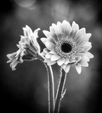 Black and white image of two gerbera daisies and bokeh background. royalty free stock photos