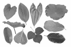 Black and white image of variety leaves of tropical tree collection. Black and white image of variety beautiful leaves of tropical tree collection on white royalty free stock photos