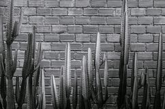 Black and white image of various cactus, agave with sharp spike. Group of various cactus, agave with sharp spike and old red brick wall vertical image with copy Stock Images