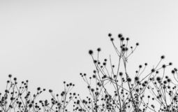 Black and white image of wilted and dried out burdock plants wit. Black and white image of wilted burdock plants with hooked burs silhouetted against the sky. It stock image