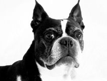 Portrait of Lola,the Boston Terrier. Black and white images of Bostons are so fun to do. I can never get enough of them. Lola is a black and White Boston, about Stock Photography