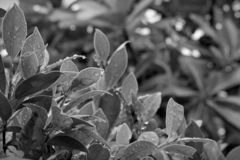 Black and white images of leaves after rain. stock photography
