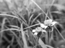 Black and white images. Soft focus of flowers grass. Blooming, background, day, close, up, macro stock photography